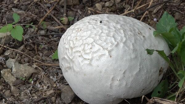 거제지역 한 유자 농가에서 발견된 댕구알 버섯